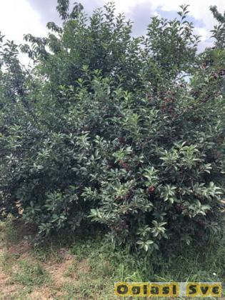 Prodajem vocnjak u punom rodu (visnja i tresnja)