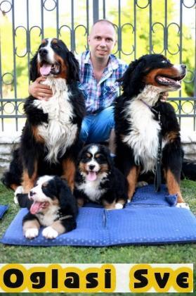 Na prodaju stenci bernskog planinskog psa